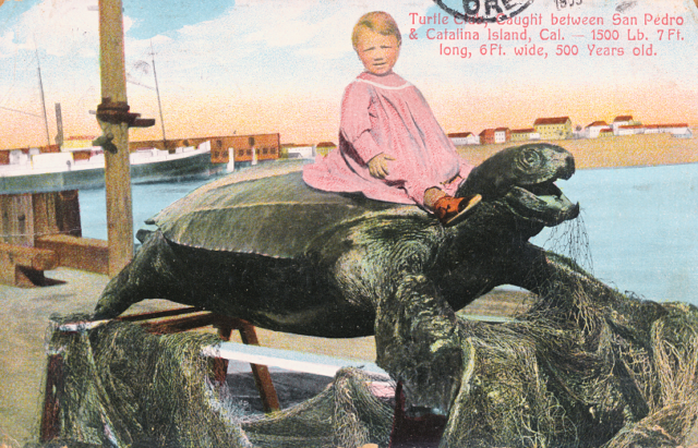 Turtle caught between San Pedro and Catalina Island, Cal. - 1500 lbs, 7 ft long 6 ft wide, 500 years old. (Fortunately sea turtles are now protected by law)